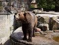 Free Dangerous Brown Bear Royalty Free Stock Photos - 26242628