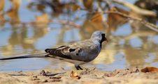Free Namaquae Dove - African Gamebird Stock Image - 26241891