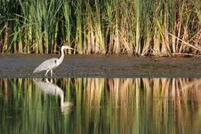Free Gray Heron Royalty Free Stock Photo - 26242035