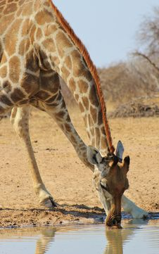 Free Giraffe - Drinking African Water Royalty Free Stock Images - 26242049