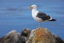 Free Talkative Seagull Royalty Free Stock Image - 26242116