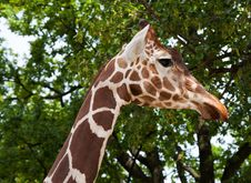 Free Giraffe In City Zoo Stock Image - 26242521