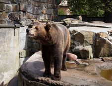Free Dangerous Brown Bear Royalty Free Stock Photos - 26242628
