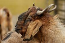 Free Brownish Goat Stock Photos - 26242783