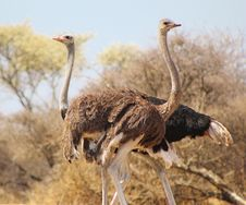Free Ostrich - Africa S Giant Gamebird Stock Images - 26243834