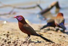 Free Waxbills, Violeteared - African Colors 2 Royalty Free Stock Image - 26244826