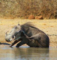 Warthog - Mud Makes The World Go Round Royalty Free Stock Image