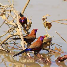Free Waxbills, Violeteared - African Colors Royalty Free Stock Photography - 26245287