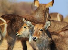 Free Waterbuck Calves - African Antelope Stock Images - 26245354