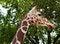 Free Giraffe In City Zoo Stock Image - 26242521