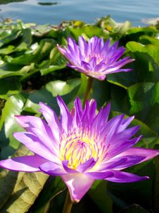 Free Water Lilies In The Thermal Lake Stock Photography - 26265162