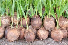 Free Coconuts Royalty Free Stock Photo - 26265725