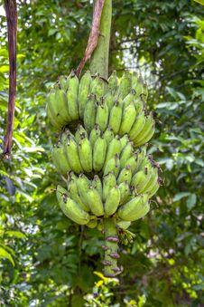 Free Banana Royalty Free Stock Photos - 26267308