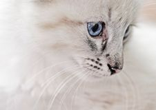 Free Innocence - White Lynx Point Balinese Kitten Royalty Free Stock Images - 26268809