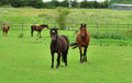 Free Bay Horses Grazing In Rural England Stock Images - 26270154