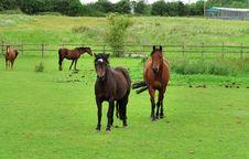 Bay Horses Grazing In Rural England