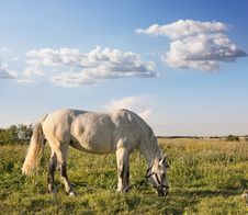 Free White Horse Graze In A Field Royalty Free Stock Photo - 26273475