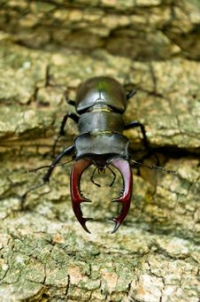 Free Stag Beetle Stock Photography - 26279482