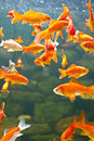 Free Aquarium Red And Gold Fishes Royalty Free Stock Photography - 26283857