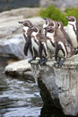 Free Penguins Going For A Swim. Stock Images - 26284394
