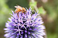 Free Bee On Allium Royalty Free Stock Photo - 26286075