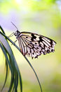 Free Black And White Butterfly Stock Photos - 26286083