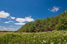 Free Meadow Of White Flowers And Fir Forest Royalty Free Stock Photo - 26282975
