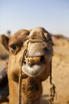 Free Silhouette Of A Camel In The Desert. Stock Images - 26285114