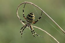 Free Wasp Spider Close Up Stock Image - 26285131