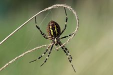 Free Wasp Spider Close Up Royalty Free Stock Photo - 26285145