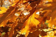 Free Maple Tree. Royalty Free Stock Images - 26288309