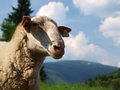 Free East Friesian Sheep Royalty Free Stock Image - 26291276
