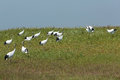 Free Red-crowned Crane Frolic In The Grass Royalty Free Stock Image - 26297436