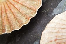 Free Scallop Shells Closeup Royalty Free Stock Image - 26293486
