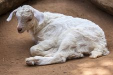 Free Young Lamb Royalty Free Stock Image - 26296986
