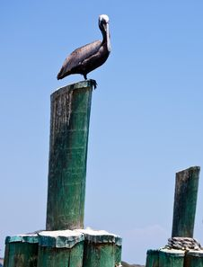 Free Pelican Stock Photos - 26299683