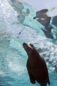 Free Sea Lion Stock Image - 26299751