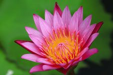Free Pink Lotus Royalty Free Stock Photography - 26299917