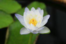 Free Lotus Stock Photos - 26299983