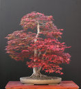 Free Japanese Maple Bonsai Royalty Free Stock Images - 2631769