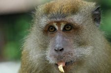 Free Brown Color Monkey Eating Stock Photo - 2630000