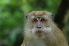 Free Brown Color Monkey Stock Image - 2630001