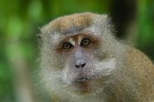 Free Brown Color Monkey Stock Images - 2630004