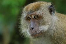 Free Brown Color Monkey Royalty Free Stock Photography - 2630007