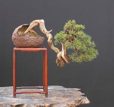 Free Mugo Pine Bonsai Royalty Free Stock Images - 2630089