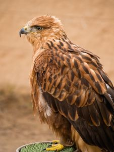 Free Eagle Stock Photography - 2632242