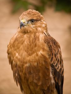 Free Eagle Stock Photo - 2632280