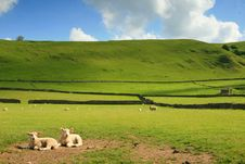 Free Sheep Stock Images - 2632634