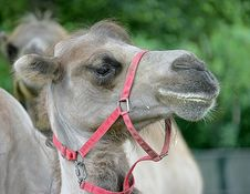 Free Bactrian Camel 3 Royalty Free Stock Photography - 2632977