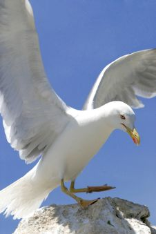 Free Seagull Royalty Free Stock Images - 2633499